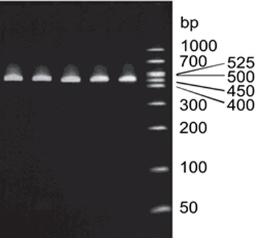 mycoplasma pcr specificity